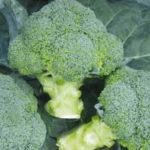 Adder Broccoli Variety