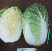 Chinese Cabbage – Samurai