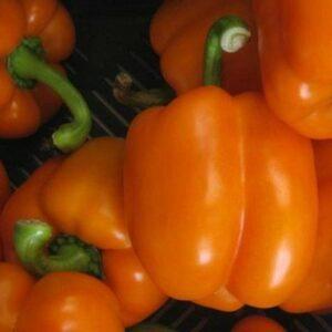 capsicum-indoor-orange-passion1