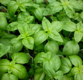 Basil – large sweet