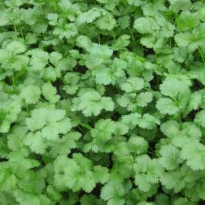 herb-corriander1-1024x768