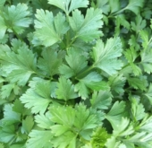 Parsley Italian – flat leaf