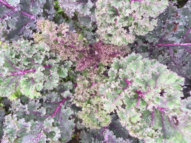 Kale – Purple Curl