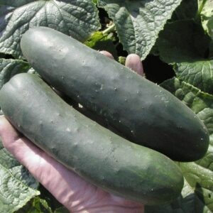 cucumber-outdoor-slicer