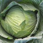Brent's Brassica Update – Green Cabbage, Fuyu Midori