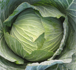 midori-green-cabbage