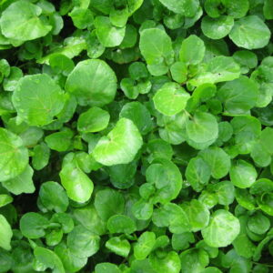 herb-watercress-1024x768