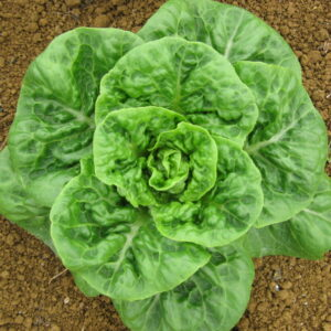 lettuce-cos-pixie1-1024x768