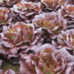 RED ROSE – MULTILEAF LETTUCE