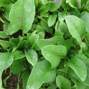 spinach-bongo