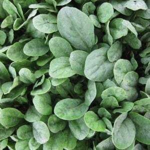 spinach-pv-1372-web