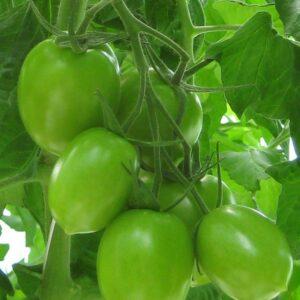 tomato-bethany-733x1024