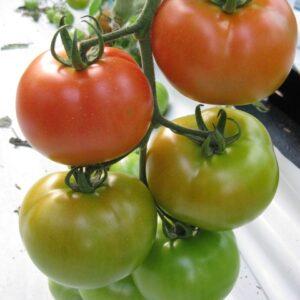 tomato-marika-web