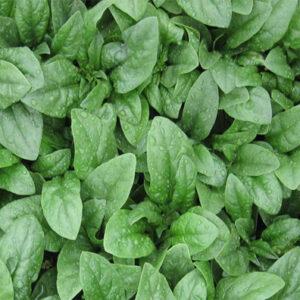 carmel-spinach