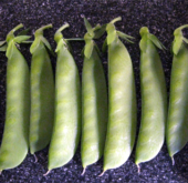 Lincoln Snow Pea