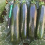 Zucchini BAZOOKA